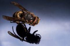 Vespas da vista superior Foto macro de um inseto imagem de stock