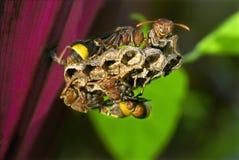 Vespas de papel em pilhas das larvas Imagem de Stock Royalty Free