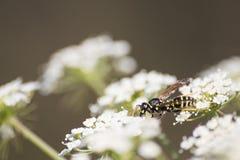 Vespas detalhadas em uma flor branca durante a mola foto de stock royalty free