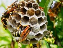 Vespas que tendem o ninho com amadurecimento das larvas vis?veis em uma pilha aberta foto de stock