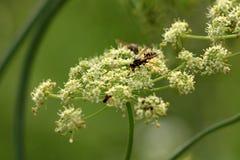 Vespas sobre as flores brancas verdes densas cercadas com outras plantas e folhas no fundo fotografia de stock