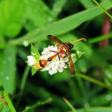 Vespe con i fiori bianchi nella foresta dell'erba Fotografia Stock