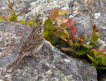 Vesper Sparrow Royalty Free Stock Photos