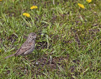 Vesper Sparrow or Bay-winged Bunting. The Vesper Sparrow is also known as a Bay-winged Bunting Royalty Free Stock Photo