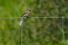 Vesper Sparrow. Perched on a page wire fence Royalty Free Stock Photo