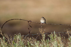 Vesper Sparrow, Pooecetes gramineus Royalty Free Stock Photos