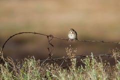 Vesper Sparrow, Pooecetes gramineus. 'Fresh Adult' Vesper Sparrow on a barbed-wire fence in southern Colorado Royalty Free Stock Photos