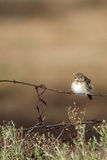 Vesper Sparrow, Pooecetes gramineus. 'Fresh Adult' Vesper Sparrow on a barbed-wire fence in southern Colorado Royalty Free Stock Photography