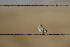 Vesper Sparrow, Pooecetes gramineus Stock Photos