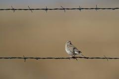 Vesper Sparrow, Pooecetes gramineus. Vesper Sparrow in Alamosa National Wildlife Refuge in Colorado Stock Photos