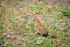 Vesper Sparrow. A Vesper Sparrow is walking on the grass Royalty Free Stock Photo