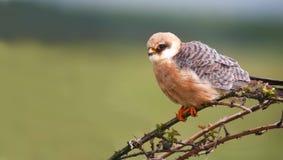 vespertinus Rosso-footed del Falco del falco Fotografia Stock Libera da Diritti