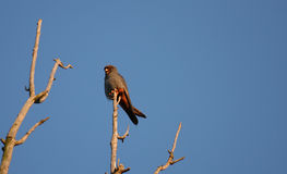vespertinus rouge mâle de faucon aux pieds de falco Photographie stock