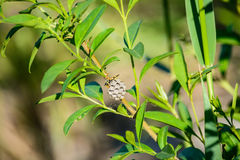 Vespiary in the branches of trees Royalty Free Stock Image