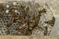 Vespiary Osy polist gniazdeczko rodzina której biorą zakończenie osy Fotografia Royalty Free