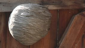 Vespiary. Rare wasps are flying around. Life of insects. Wasps are flying. An aspen nest on a wooden door. Close-up stock footage