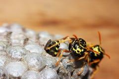 Vespiary on the wall. (Hymenoptera) Stock Image
