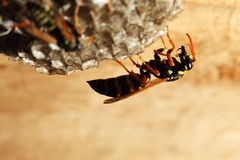 Vespiary on the wall. (Hymenoptera) Stock Image