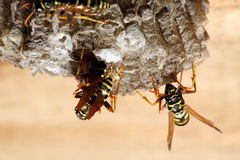 Vespiary on the wall. (Hymenoptera) Royalty Free Stock Images
