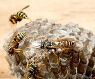 Vespiary on the wall. (Hymenoptera) Stock Photos