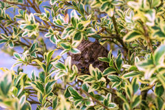 Vespiary. Wasps have placed him in the branches of a bush. royalty free stock photos