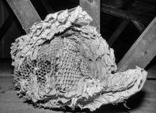 Vespiary. Wasps polist in garden house. Multi generation wasps nest yellow wings wild vulgaris vespula venom stinger social skeleton shapes reproduction pupa royalty free stock photo