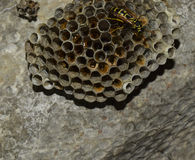 Vespiary. Wasps polist. The nest of a family of wasps which is taken a close-up. Royalty Free Stock Photo