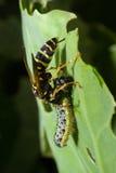 Vespidae, vespa Foto de Stock Royalty Free