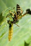 vespidaewasp royaltyfri foto