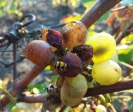Vespidea stuck in grapes royalty free stock image