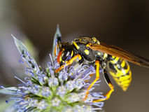 Vespula germanica Royalty Free Stock Photography