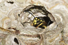 Vespula germanica Royalty Free Stock Photos