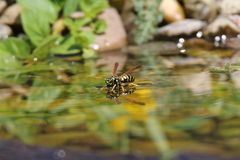 Vespula vulgaris pour se tenir sur l'eau et boire ainsi Image libre de droits