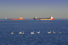 Swans and ships in the sea. Scenic view with swimming swans and ships at roadstead in calm sea.Black sea coast,Bulgaria Royalty Free Stock Images
