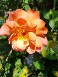 Vesterland anaranjado subió El olor del verano imagen de archivo libre de regalías