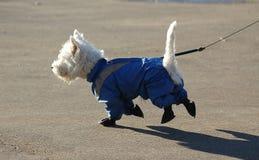 Vesti. Smal white dog in dog coat on walk with owner Stock Image