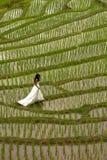 Vestido nupcial branco com a jovem mulher romântica bonita em campo de almofada terraced Fotografia de Stock