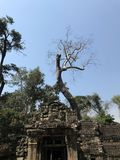 The vestige of Angkor and the fallen dead tree Royalty Free Stock Photo