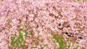 Vestigend hommel in een Japanse boomgaard van de kersenboom in volledige bloesem wordt geschoten die stock videobeelden