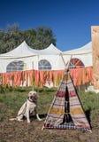 Vestir do cão da mistura do pastor de Collie Australian da beira fotografia de stock