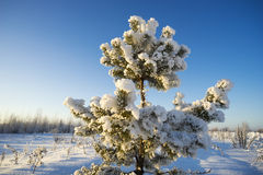 Vestito bianco dalla damigella d'onore da neve sul pino Immagine Stock