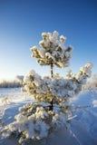 Vestito bianco dalla damigella d'onore da neve sul pino Immagine Stock Libera da Diritti