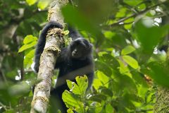 Vestitus mis en danger de lar de Hylobates de gibbon de lar de Sumatran, en parc national de Gunung Leuser, Sumatra, Indonésie photo stock