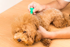 Vet applying ticks, lice and mites control medicine on dog Royalty Free Stock Images