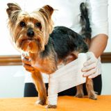 Vet binding up dogs leg. Stock Photos