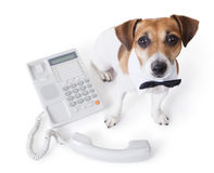 Vet call center. Contact us. Cute little dog sitting with bow tie and a white collar near office phone. White background. Studio shot. office employee stock photo