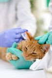 Vet calms a little cat and ready for review Stock Photo