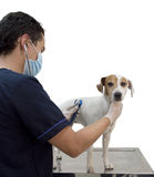 The vet is cheaking the dog Royalty Free Stock Photos