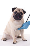 Vet checking pug dog with stethoscope isolated on white Stock Image