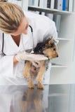 Vet checking puppy Stock Photo